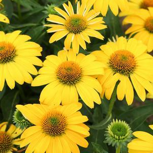 Coneflower 'Sombrero® Lemon Yellow Improved' - 8``