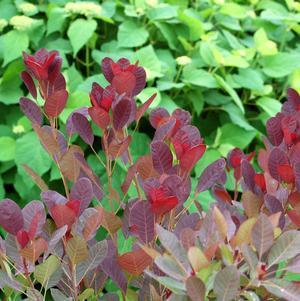 Cotinus coggygria 'Royal Purple'-#3 Container<br/>Royal Purple Smokebush