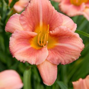 Daylily 'Never Ending® Peach Blast' - 8 In.