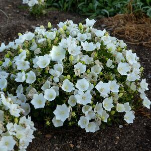 Bellflower 'Rapido White' - 1 Gal.