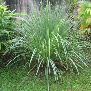 Cymbopogon citratus-#1 Container<br/>Lemongrass