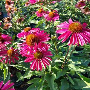 Coneflower 'Kismet™ Raspberry' - 8``