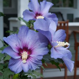 Rose Of Sharon 'Azurri Blue Satin® - Tree Form' - 7 Gal.