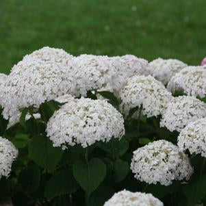 Hydrangea-Smooth Invincibelle® 'Wee White®' - 3 Gal.
