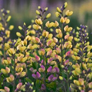 False Indigo Decadence® 'Deluxe Pink Lemonade' - 1 Gal.