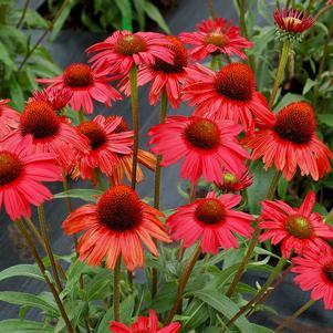 Coneflower 'Kismet™ Red' - 8``
