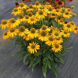 Coneflower 'Kismet™ Yellow' - 8``
