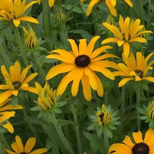 Black-Eyed Susan 'Glitters Like Gold' - 8 In.