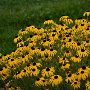 Black-Eyed Susan 'American Gold Rush' - 8 In.