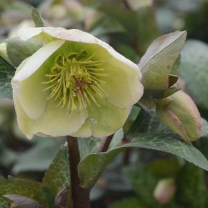 Hellebore Or Lenton Rose 'Frostkiss® Molly'S White' - 8 In.