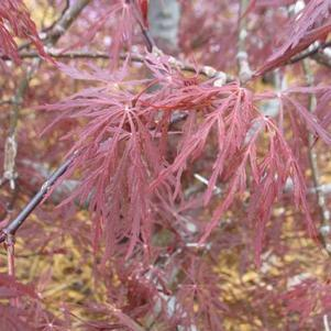 Acer palmatum Dissectum 'Red Dragon'-#3 Container<br/>Red Dragon Weeping Japanese Maple