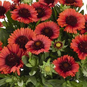 Blanket Flower 'Spintop Red' - 8 In.