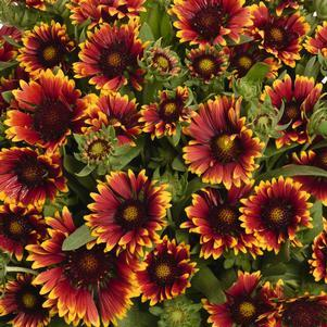 Blanket Flower 'Spintop Orange Halo' - 8 In.