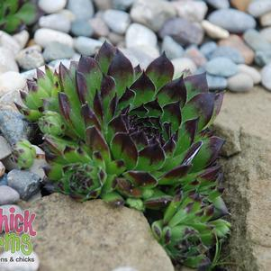 Appletini™ Hens & Chicks - #1