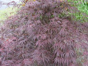 Acer palmatum Dissectum 'Tamukeyama'-#2 Container<br/>Tamukeyama Threadleaf Weeping Japanese Maple