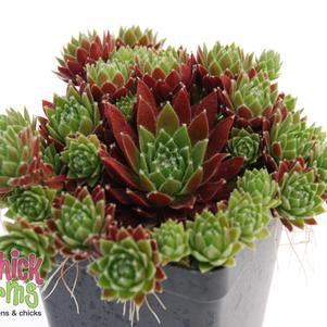 Hens & Chicks 'Chick Charms® Cinnamon Starburst™' - 1 Gal.