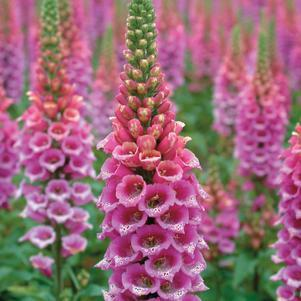 Digitalis Candy Mountain-8`` Container<br/>Candy Mountain Foxglove