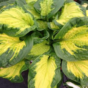 Hosta Shadowland® 'Etched Glass' - 1 Gal.