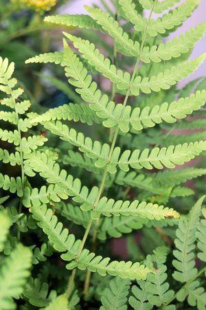 Dryopteris marginalis-#2 Container<br/>Marginal Shield Fern