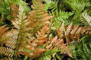 Dryopteris erythrosora 'Brilliance'-#1 Container<br/>Brilliance Autumn Fern