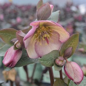 Hellebore or Lenton Rose  Frostkiss® 'Glenda's Gloss'' - 8 In.