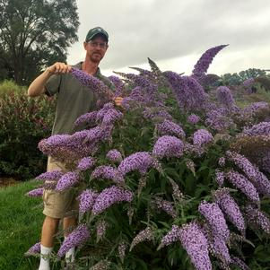 Butterfly Bush 'Grand Cascade' - 3 Gal.