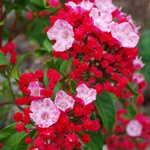 Mountain Laurel 'Firecracker' - 3 Gal.