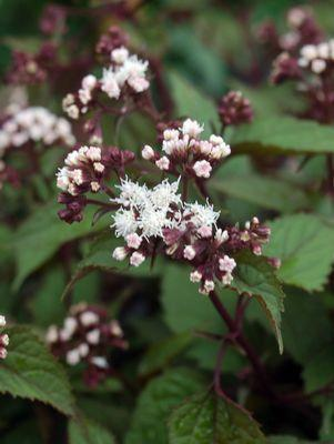 Eupatorium rugosum 'Chocolate'-#2 Container<br/>Chocolate Snakeroot