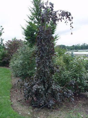 Fagus sylvatica 'Purple Fountain'-#15 Container<br/>Weeping Beech