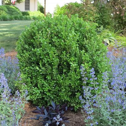Boxwood 'Newgen Freedom®' - 3 Gal.