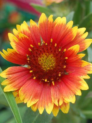 Gaillardia X grandiflora 'Arizona Sun'-#1 Container<br/>Arizona Sun Blanket Flower