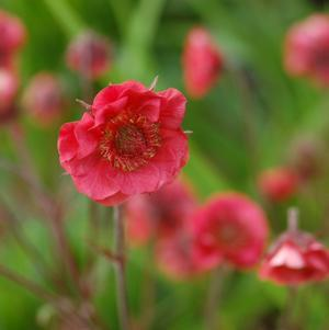 Geum 'Flames Of Passion'-8`` Container<br/>Flames of Passion Avens