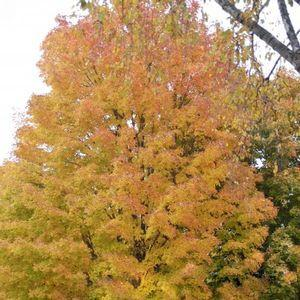 Acer saccharum-#15 Container<br/>Sugar Maple