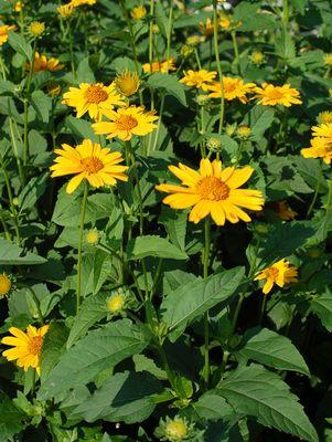 Heliopsis 'Tuscan Sun'-#1 Container<br/>Tuscan Sun False Sunflower