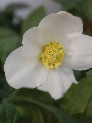 Helleborus niger 'Jacob'-#1 Container<br />Jacob Christmas Rose