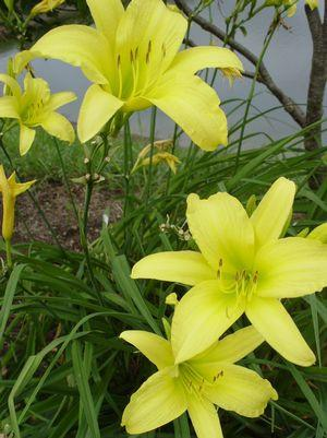 Hemerocallis 'Hyperion'-#1 Container<br/>Hyperion Daylily