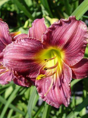 Hemerocallis 'Little Grapette'-#1 Container<br/>Little Grapette Daylily