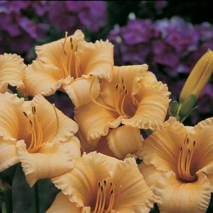 Hemerocallis 'Apricot Sparkles'-8`` Container<br/>Apricot Sparkles Daylily