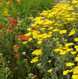Achillea filipendulina 'Moonshine'-#2 Container<br/>Moonshine Yarrow