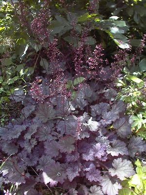 Heuchera villosa  'Frosted Violet'-#1 Container<br/>Frosted Violet Coral Bells