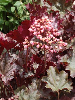 Heuchera 'Plum Pudding'-#2 Container<br/>Plum Pudding Coral Bells