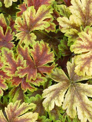 Heucherella 'Gold Zebra'-8`` Container<br/>Golden Zebra Foamy Bells