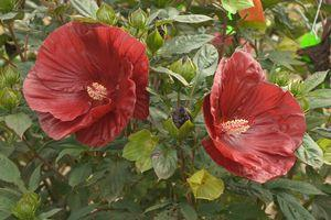 Hibiscus Summerific®'Cranberry Crush'-#3 Container<br/>Summerific® Cranberry Crush Rose Mallow