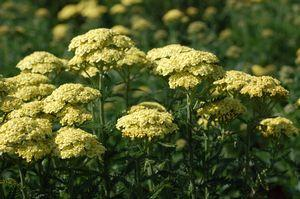 Achillea millefolium 'Sunny Seduction'-#2 Container<br/>Sunny Seduction Yarrow