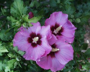 Hibiscus syriacus 'Minerva'-#3 Container<br/>Minerva Rose of Sharon