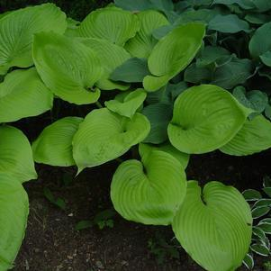 Hosta 'Sum & Substance'-#2 Container<br/>Sum and Substance Hosta