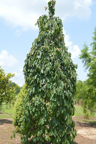 Diospyros virginiana 'Magic Fountain'-#7 Container<br />Magic Fountain Weeping Persimmon