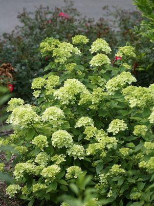 Hydrangea paniculata 'Little Lime'-#2 Container<br/>Little Lime&#8482; Panicle Hydrangea
