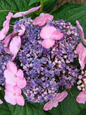Hydrangea macrophylla 'Twist-N-Shout'-#3 Container<br/>Twist-N-Shout Endless Summer Hydrangea