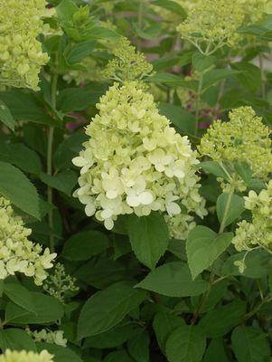 Hydrangea paniculata 'Limelight'-#10 Container<br/>Limelight Hydrangea